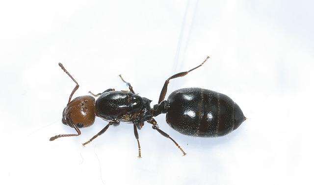 velký mravenec